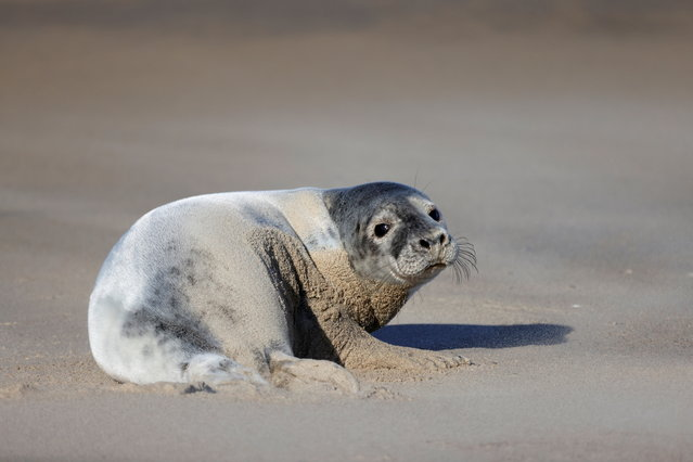 A grey seal rests on a sandbank close to Walde lighthouse in Marck near Calais, France, February 13, 2021. (Photo by Pascal Rossignol/Reuters)