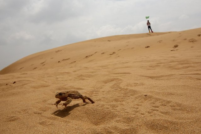 A sand frog jumps as a toursit standing behind in Xiangshawan Desert, also called Sounding Sand Desert on July 18, 2013 in Ordos of Inner Mongolia Autonomous Region, China. Xiangshawan is China's famous tourist resort in the desert. It is located along the middle section of Kubuqi Desert on the south tip of Dalate League under Ordos City. Sliding down from the 110-metre-high, 45-degree sand hill, running a course of 200 metres, the sands produce the sound of automobile engines, a natural phenomenon that nobody can explain. (Photo by Feng Li/Getty Images)