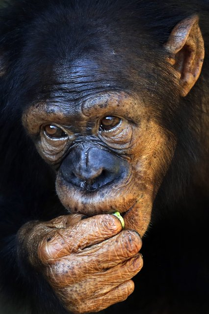 A Chimpanzee (Pan troglodytes) enjoys a bite while watching visitors at Sri Lanka's National Zoological Gardens at Dehiwala in Colombo, Sri Lanka, 08 February 2015. The Dehiwala National Zoo, one of the oldest in Asia, has a remarkable collection of exotic and indigenous fauna. (Photo by M. A. Pushpa Kumara/EPA)