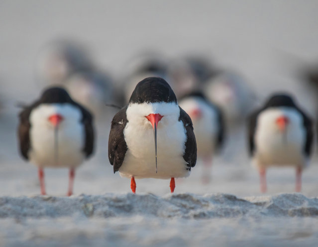 A group of black skimmer birds stand in formation. (Photo by Ke Qiang Ruan/Barcroft Images/Comedy Wildlife Photography Awards)