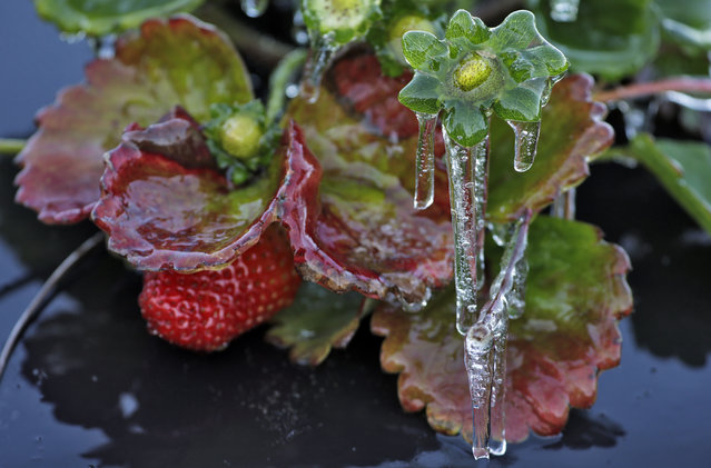 Icicles hang off a strawberry plant Friday, February 20, 2015, in Plant City, Fla. Temperatures overnight in the fields dipped into the low 30's. Farmers spray water on their crops to protect the plants from being damaged by a freeze. (Photo by Chris O'Meara/AP Photo)