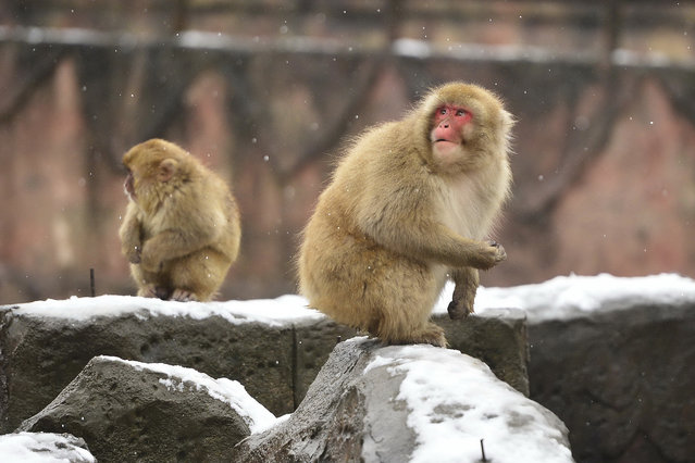 Japanese macaques, or snow monkeys, are seen at the Nanchang Zoo in Nanchang, capital of east China's Jiangxi Province, January 22, 2016. A cold front and snowfall hit the province on Friday. (Photo by Zhou Mi/Xinhua via ZUMA Wire)
