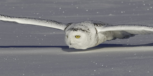 A beautiful snowy owl looks like she is flying above a cloud, but in fact she is gliding inches above a snowplain in a hunt for food. The owls fit in perfectly with their surroundings as both the male and female, which has darker markings on her feathers referred to as barres, hunt for voles. (Photo by Rick Dobson/Solent News/SIPA Press)