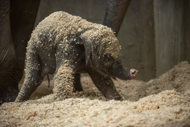 This undated file photo provided by Columbus Zoo and Aquarium shows an Asian baby elephant, born Thursday, December 6, 2018, in Powell, Ohio. The Columbus Zoo and Aquarium says the elephant born three weeks ago has died. The zoo says the female Asian elephant died Wednesday, Dec. 26, 2018, after a sudden illness. (Photo by Grahm S. Jones/Columbus Zoo and Aquarium via AP Photo)