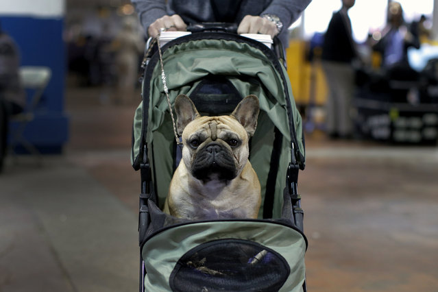 French bulldog Watson is wheeled to a ring for judging at the 2016 Westminster Kennel Club Dog Show in the Manhattan borough of New York City, February 15, 2016. (Photo by Mike Segar/Reuters)