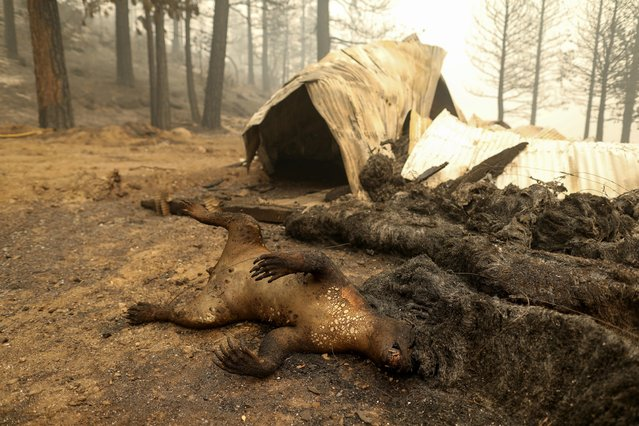 A dead black bear lays near a razed barn and hay from the Dixie Fire near Taylorsville, California, U.S., August 12, 2021. (Photo by David Swanson/Reuters)