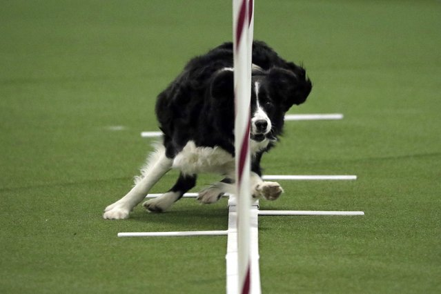 Border collie named Stella competes in the masters agility preliminary rounds during the Westminster Kennel Club Dog Show, Saturday, February 9, 2019, in New York. (Photo by Wong Maye-E/AP Photo)