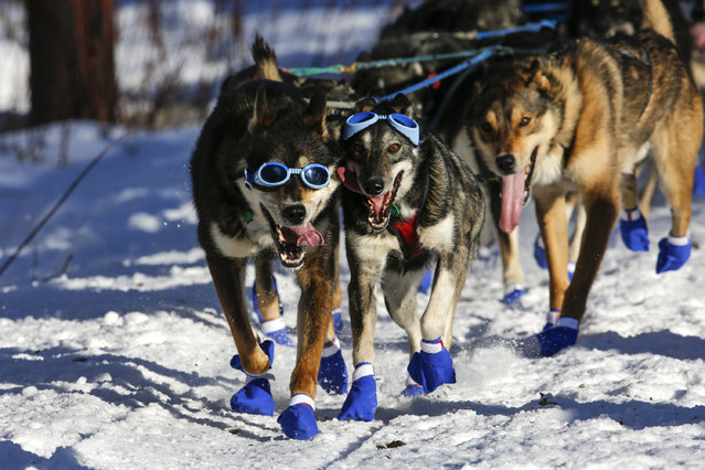 Cody Strathe's team leaves the restart of the Iditarod Trail Sled Dog Race in Willow, Alaska March 6, 2016. (Photo by Nathaniel Wilder/Reuters)