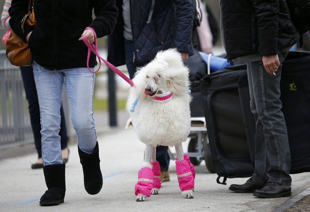A Poodle arrives for the first day of the Crufts Dog Show in Birmingham, Britain March 10, 2016. (Photo by Darren Staples/Reuters)