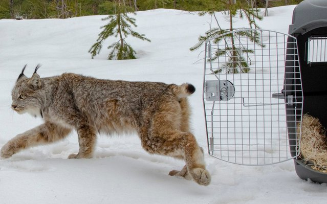 In this April 12, 2019 photo a Canada lynx is released in Schoolcraft County in Michigan's Upper Peninsula. The lynx was captured weeks ago in Sanilac County in the Lower Peninsula. After spending time at the Howell Nature Center and the Detroit Zoo, the female was released last week in a wooded area. The animal rarely seen in Michigan. The DNR says the last verified sighting of a lynx was in 2010 on Sugar Island near Sault Ste. Marie. (Photo by John Pepin/Michigan Department of Natural Resources via AP Photo)