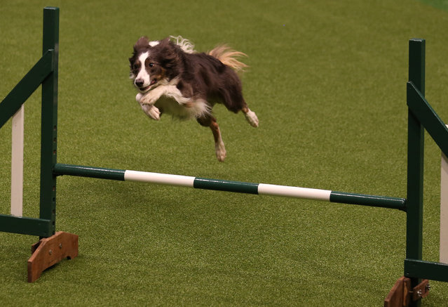 A Border Collie jumps over a fence in the Rescue Dog Agility show in the main arena on the first day of Crufts dog show at the NEC on March 6, 2014 in Birmingham, England. (Photo by Matt Cardy/Getty Images)