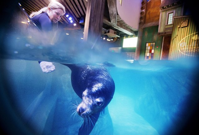 In this Monday, March 28, 2016 photo, trainer Catrina Bloomquist works with Nav, an 11-year-old rescued California sea lion, as part of a new exhibit opening at the Georgia Aquarium. (Photo by David Goldman/AP Photo)