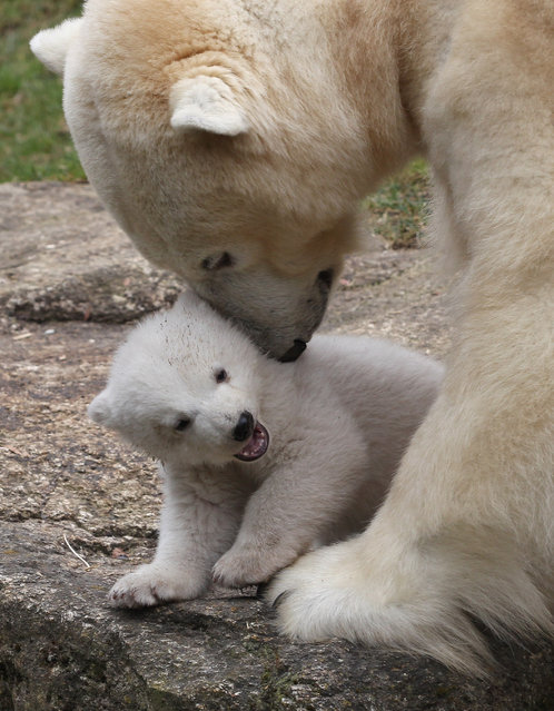 One of the 14 week-old twin polar bear cubs plays with her mother Giovanna during their first presentation to the media in Hellabrunn zoo on March 19, 2014 in Munich, Germany. (Photo by Alexandra Beier/Getty Images)