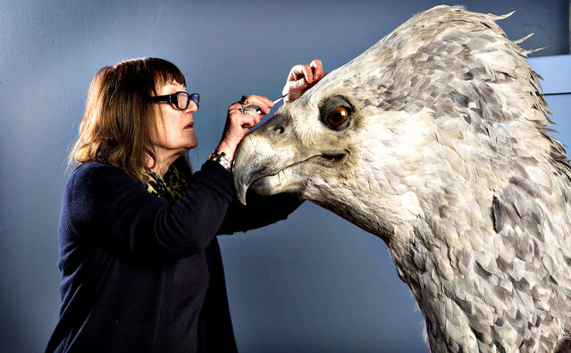 Undated handout photo of Buckbeak, a Hippogriff that lived with Rubeus Hagrid in the Harry Potter series, has his feathers preened and replenished by featherologist Val Jones, as he will feature in the the Feathers and Flight event at Warner Bros. Studio Tour London. (Photo credit should read: Tim Anderson/PA Wire)