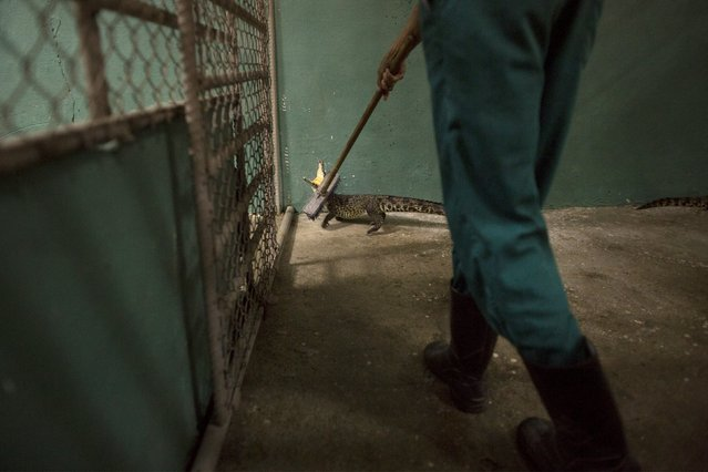 A veterinarian prepares a Cuban crocodile (Crocodylus rhombifer) at the National Zoo in Havana to be taken to Zapata Swamp National Park, June 4, 2015. Ten baby crocodiles have been delivered to a Cuban hatchery in hopes of strengthening the species and extending the bloodlines of a pair of Cuban crocodiles that former President Fidel Castro had given to a Soviet cosmonaut as a gift in the 1970s. Picture taken June 4, 2015. REUTERS/Alexandre Meneghini