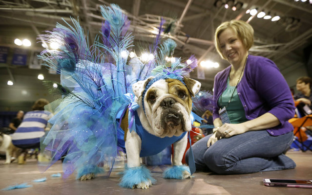 Shireen Carter, of Norwalk, Iowa, sits with her bulldog Lola during judging at the 37th annual Drake Relays Beautiful Bulldog Contest, Sunday, April 24, 2016, in Des Moines, Iowa. The pageant kicks off the Drake Relays festivities at Drake University where a bulldog is the mascot. (Photo by Charlie Neibergall/AP Photo)