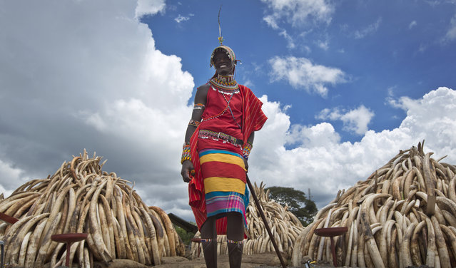 A Maasai man in ceremonial dress poses for visitors to take photographs of him in front of one of around a dozen pyres of ivory, in Nairobi National Park, Kenya Thursday, April 28, 2016. The Kenya Wildlife Service (KWS) has stacked 105 tons of ivory consisting of 16,000 tusks, and 1 ton of rhino horn, from stockpiles around the country, in preparation for it to be torched on Saturday to encourage global efforts to help stop the poaching of elephants and rhinos. (Photo by Ben Curtis/AP Photo)
