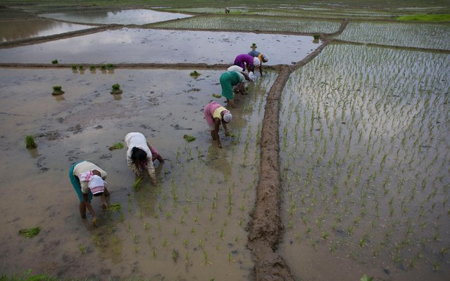 Women work at a paddy field in Reba Maheswar village, 56 kilometers (35 miles) east of Gauhati, India, Friday, July 3, 2015. (Photo by Anupam Nath/AP Photo)