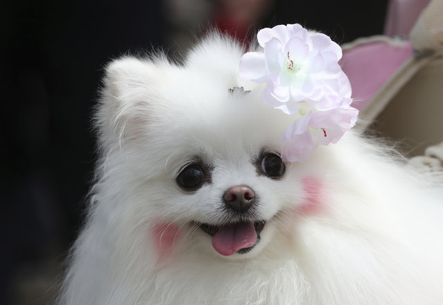 A dog with a cherry blossom-shaped pin, is seen in the cherry blossom festival in Seoul, South Korea, Sunday, April 9, 2017. (Photo by Lee Jin-man/AP Photo)
