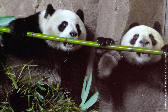 Yuan Zi, a male giant panda and Huan Huan, a female giant panda, share their life inside their enclosure at Zoo Parc De Beauval
