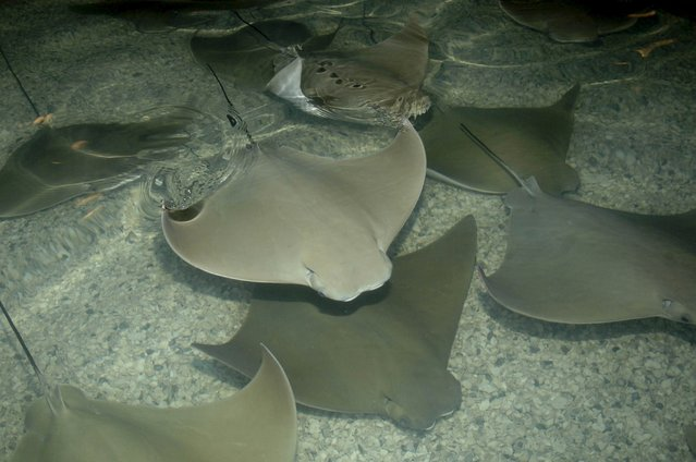 Stingrays swim in a shallow pool at the Brookfield Zoo in Brookfield, Illinois in this undated handout photo provided by Brookfield Zoo. The Brookfield Zoo near Chicago is investigating what caused all 54 of its stingrays to die, a zoo spokeswoman said on July 13, 2015. Four southern stingrays and 50 cownose rays died on Friday after the oxygen level dropped in the exhibit habitat, the zoo said in a statement. (Photo by Reuters/Brookfield Zoo)