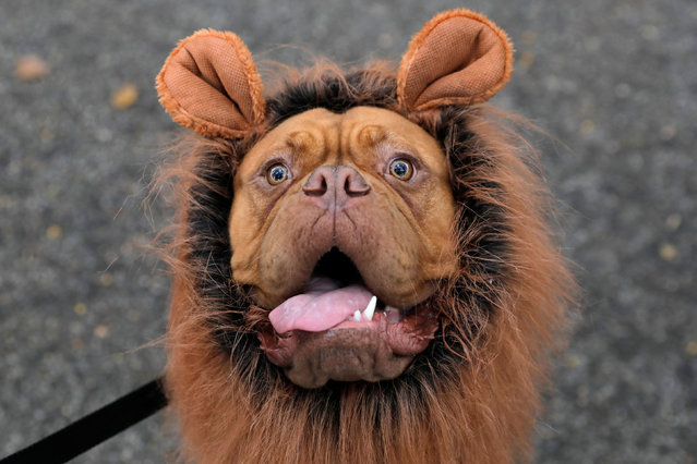 Frankie the French mastiff poses while dressed as a lion at the Tompkins Square Halloween Dog Parade in Manhattan, New York City, U.S., October 20, 2019. (Photo by Andrew Kelly/Reuters)