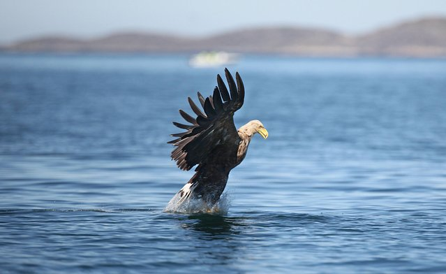 An Adult White-tailed Eagle hunting for fish for her young chicks, on May 20, 2014. (Photo by Valerie O'Sullivan/Golden Eagle Trust)