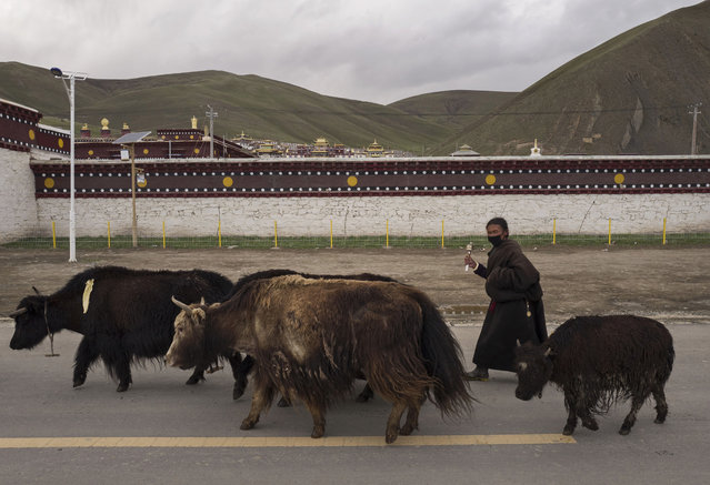 A Tibetan nomad walks her yak past the Sershul Monastery on May 21, 2016 in Sershul on the Tibetan Plateau in the Garze Tibetan Autonomous Prefecture of Sichuan province. (Photo by Kevin Frayer/Getty Images)