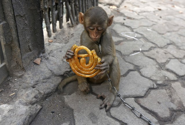 Musafir, a pet monkey, eats sweets on a pavement in Kolkata, India, June 9, 2016. (Photo by Rupak De Chowdhuri/Reuters)