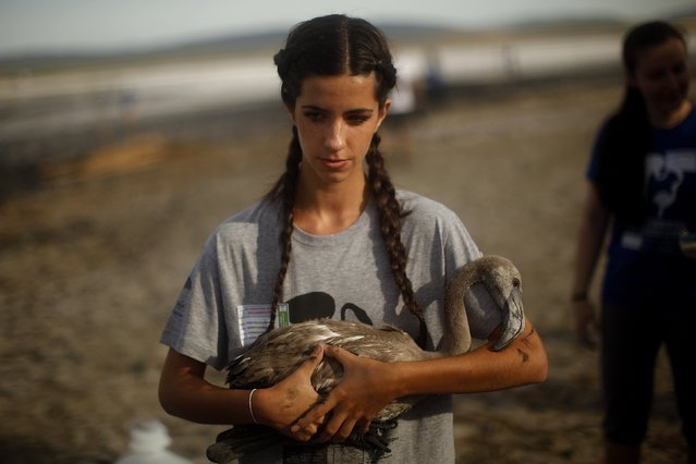 Natalia Pozo, 21, holds a flamingo chick before it is fitted with an identity ring at the Fuente de Piedra natural reserve, near Malaga, southern Spain, July 19, 2014. Around 600 flamingos were tagged and measured before being placed in the lagoon, one of the largest colonies of flamingos in Europe, according to authorities of the natural reserve. (Photo by Jon Nazca/Reuters)