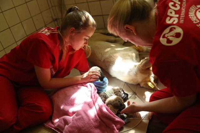 Nastya Grabchuk (L), a Ukrainian medical student volunteering with The Dogs of Chernobyl initiative, and Meredith Ayan, Executive Director of SPCA International, a U.S.-based animal rescue non-profit, tend to stray puppies recovering from a sedative after surgery and vaccinations at a makeshift veterinary clinic inside the Chernobyl exclusion zone on August 17, 2017 in Chornobyl, Ukraine. (Photo by Sean Gallup/Getty Images)
