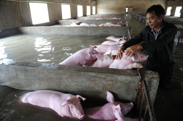 An employee touches pigs which cannot be moved away from a flooded farm, due to an environmental protection and epidemic prevention measure, before he leaves for a safer place in Liu'an, Anhui Province, China, July 4, 2016. (Photo by Reuters/Stringer)