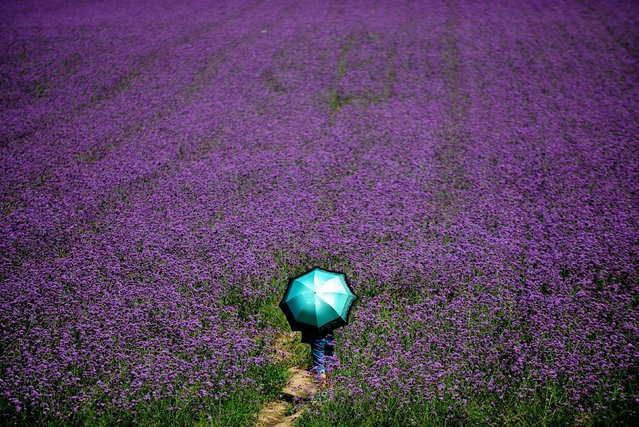A visitor holds an umbrella before a lavender field in a park in Shenyang, northeast China's Liaoning province on August 12, 2015. (Photo by AFP Photo)