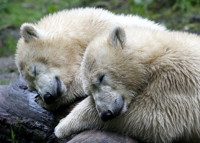 Polar bear twins Nobby and Nela sleep in their enclosure of the Tierpark Hellabrunn zoo in Munich, southern Germany, on August 22, 2014. The two cubs were born at the zoo on December 9, 2013. (Photo by Stephan Jansen/AFP Photo)