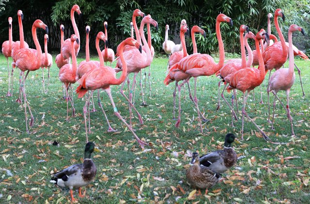 Ducks stand next to  pink flamingos on September 11, 2017, in the Jardin des Plantes in Paris. (Photo by Ludovic Marin/AFP Photo)