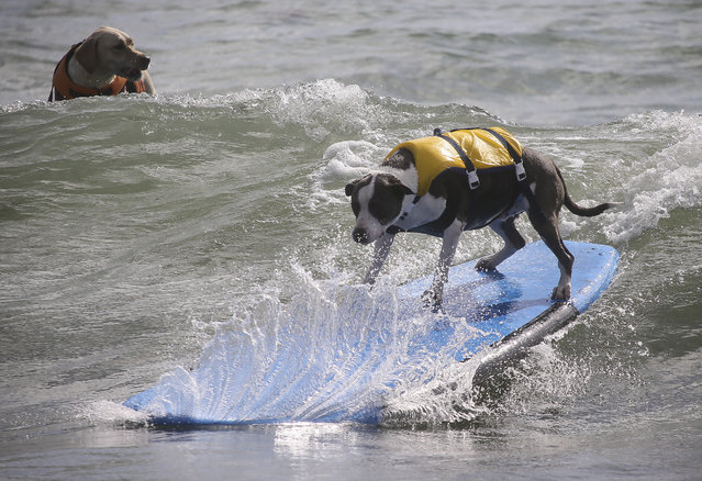 Hang 20 Surf Dog Classic at Carlin Park in Jupiter Saturday, August 29, 2015. (Photo by Bruce R. Bennett/The Palm Beach Post)