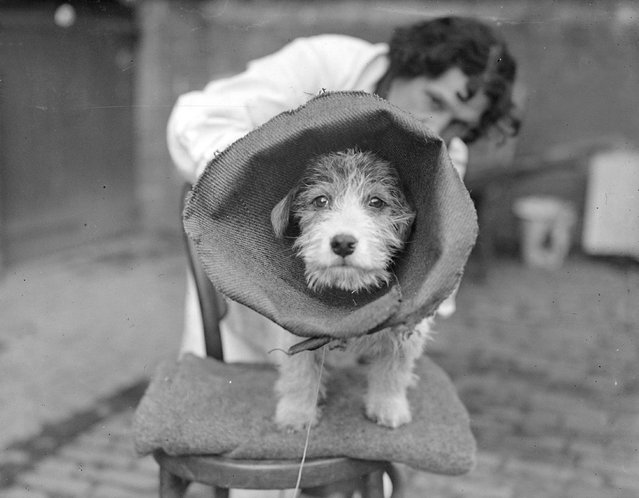 A terrier at the Royal Veterinary College, London is wearing a large canvas collar to prevent him interfering with bandages on his tail after an operation on it. 3rd February 1933. (Photo by William Vanderson/Fox Photos)