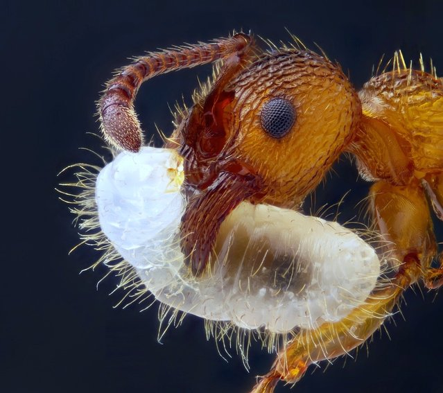 "Nikon Small World Photomicrography Competition 2012. 9th Place. ""Myrmica sp. (ant) carrying its larva (5x)"". (Photo by Geir Drange, Asker, Norway)"