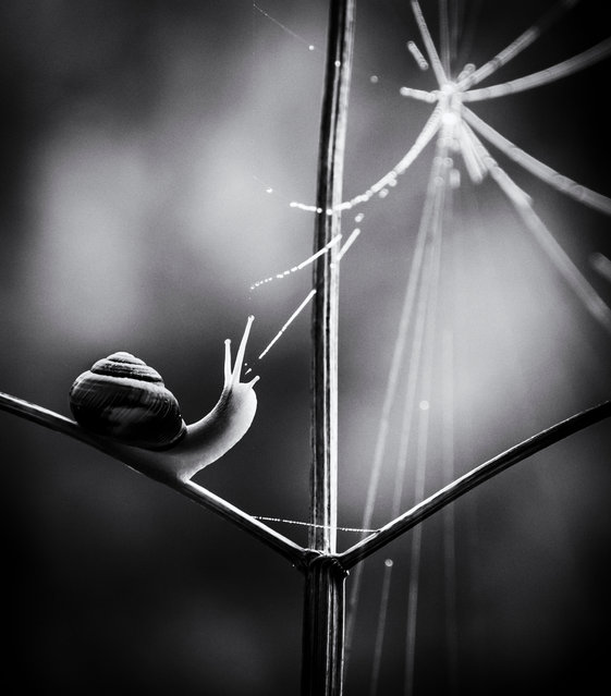 """Paula Cooper, black and white category winner: Web of Life, Thetford Forest, Norfolk. """"I took this on a very misty day in Thetford Forest. It was too misty to photograph the trees so I tried looking for something closer up; I spotted this little snail making its way up a plant stem. I was lucky that at the moment I took this image the snail looked up towards the spider web"""". (Photo by Paula Cooper/British Wildlife Photography Awards 2017)"""