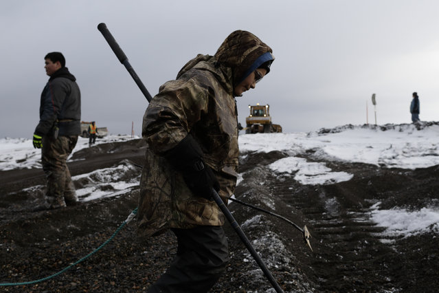 In this October 7, 2014, photo, Crawford Patkotak carries a harpoon attached to a buoy after his crew landed a bowhead whale, as the whale is hauled ashore in a field near Barrow, Alaska.  Most members of a whaling family pitch in once a whale is caught. Often, three generations of a whaling family are at the task of butchering and dividing the whale. (Photo by Gregory Bull/AP Photo)