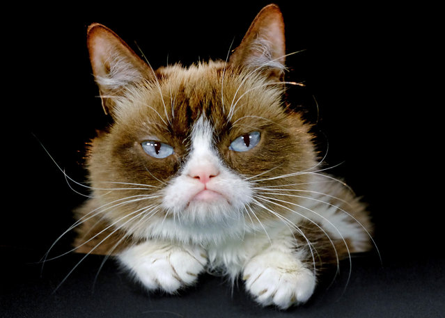 "This December 1, 2015 file photo shows Grumpy Cat posing for a photo in Los Angeles.  Grumpy Cat is joining the cast of the Broadway musical ""Cats"" on Friday, September 30, 2016. The kitty with the comical frown ""will be worked into the end of the show and will become an honorary Jellicle Cat"", according to a spokesman for the show. (Photo by Richard Vogel/AP Photo)"