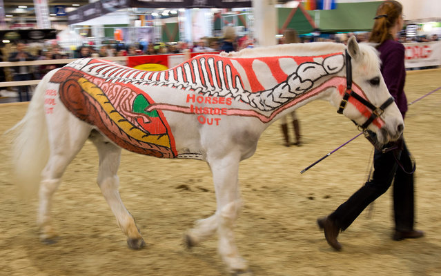 "Parts of the skeleton and organs of a horse are painted on a horse at the equestrian fair Equitana in Essen, western Germany, on March 24, 2013. Under the motto ""horses inside out"", the white horse advertises a book by Gillian Higgins, which is about the anatomy of horses. (Photo by Bernd Thissen/AFP Photo/DPA)"