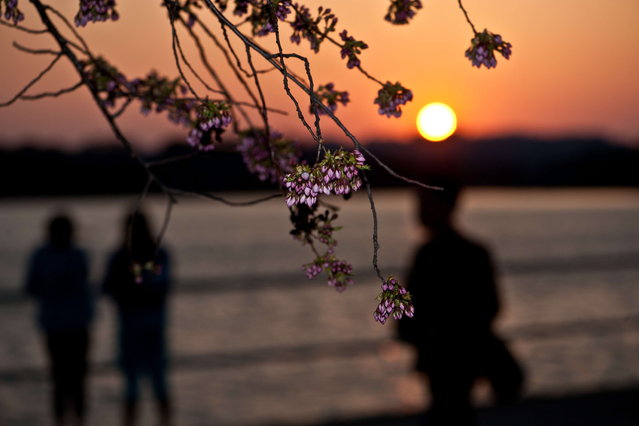 People enjoy the sunset on the Tidal Basin as cherry blossoms begin to bloom in Washington on April 5, 2013. The peak of the cherry blossom season is expected in the next few days. (Photo by Nicholas Kamm/AFP Photo)
