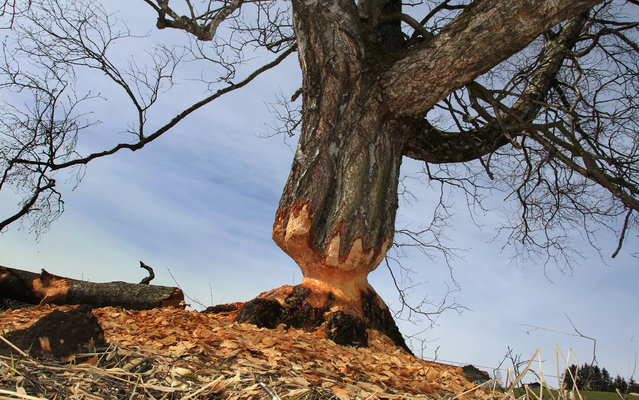 A birch gnawed by beavers stands near Lengenwang, southern Germany, on April 9, 2013. 120 beavers have been resettled in southern parts of Germany until 1979. (Photo by Karl-Josef Hildenbrand/AFP Photo)