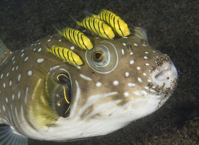 A squadron of juvenile golden trevally accompany a whitespotted pufferfish that is feeding in the sand along the shores of Dumaguete, Philippines. The mustache around the fishs lips reveal that it is actively feeding, an act that has the attention of the hungry jacks. The jacks will dart down from their position to try to grab uncovered prey and puffers leftovers. (Photo by Marty Snyderman/Caters News Agency)