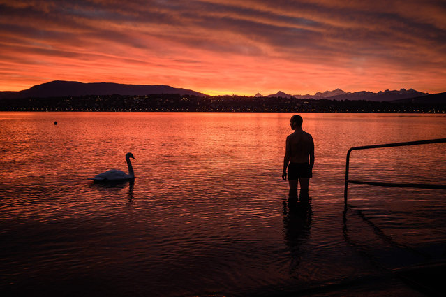 A man watches a curious swan swim past as he wades into Lake Geneva for a sunrise swim on October 20, 2020 in Geneva. (Photo by Fabrice Coffrini/AFP Photo)