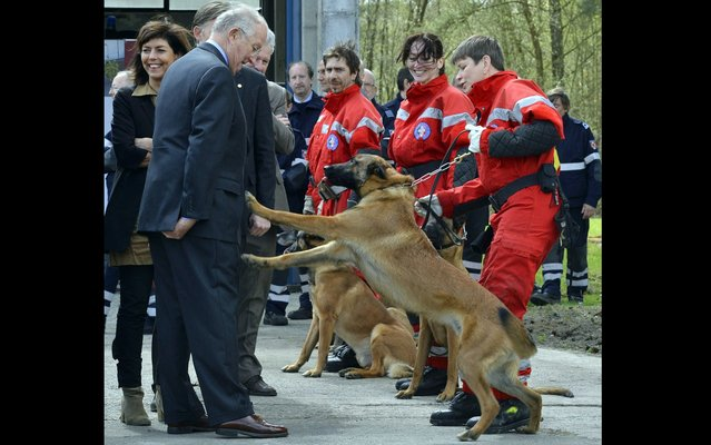 """The Belgian King Albert II is """"greeted"""" by a friendly dog during an official visit to the Team Identification of Disaster Victims, on April 18, 2013. (Photo by François Lenoir/Reuters)"""