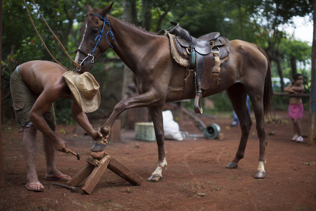 "Victor Capote, a 46-year-old rancher, works on a horseshoe of his mare ""Muneca"", or ""doll"" in Spanish, in his ranch near San Antonio de los Banos village, in Artemisa province August 6, 2014. (Photo by Alexandre Meneghini/Reuters)"