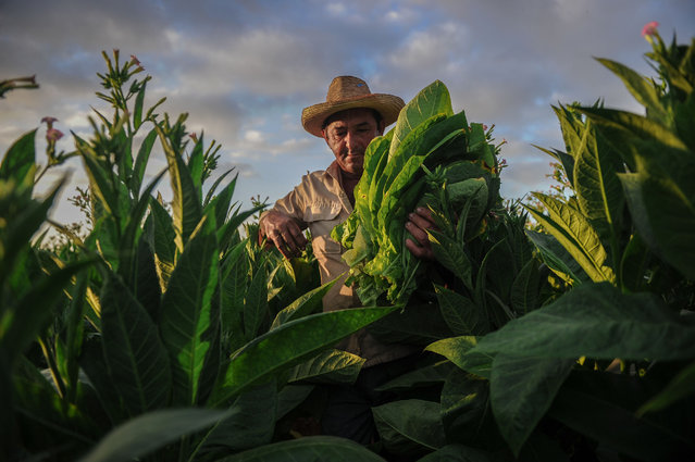 In this file photo taken on February 24, 2018 a farmer works at a tobacco plantation in San Juan y Martinez, Pinar del Rio Province, Cuba. Cuba will hold the 20th edition of the Habanos Festival from February 26 to March 2. (Photo by Yamil Lage/AFP Photo)