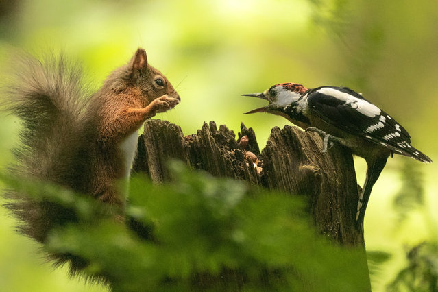 """A red squirrel and a woodpecker having an """"argument"""" over some nuts in a woodland near Lockerbie, Dumfries and Galloway in Johnsfield, England in September 2020. (Photo by Karen Crawford/South West News Service)"""